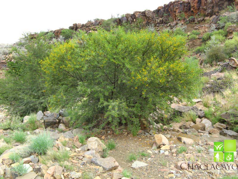 Huaranguillo acacia horrida vivero chaclacayo - Plantas para hacer setos ...