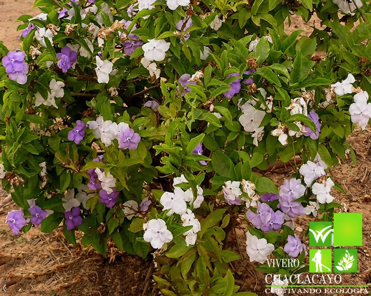 Francisca brunfelsia frasecino brunfelsia uniflora for Arbol perenne para jardin