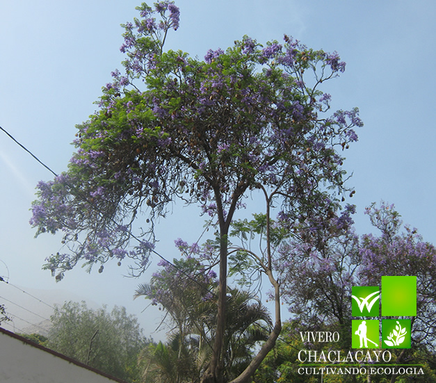 Jacaranda jacaranda mimosifolia vivero chaclacayo for Viveros en lima