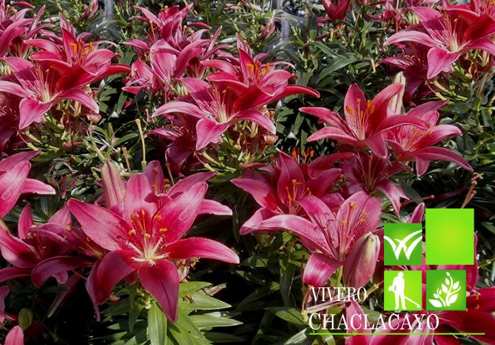 Azucena lirio lilium spp grass americano cesped gras for Azucena plantas jardin