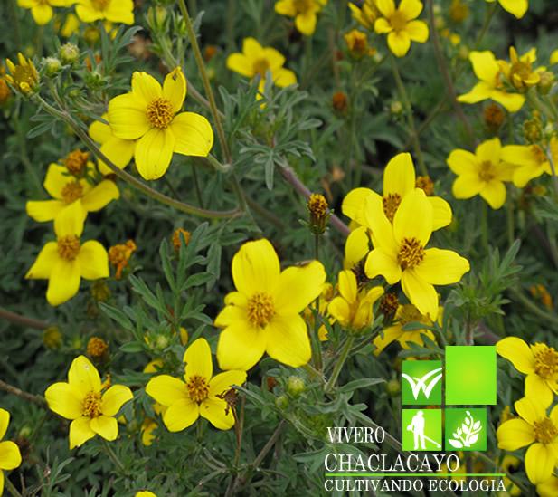 Bidens verbena amarilla bidens ferulifolia vivero for Viveros en lima