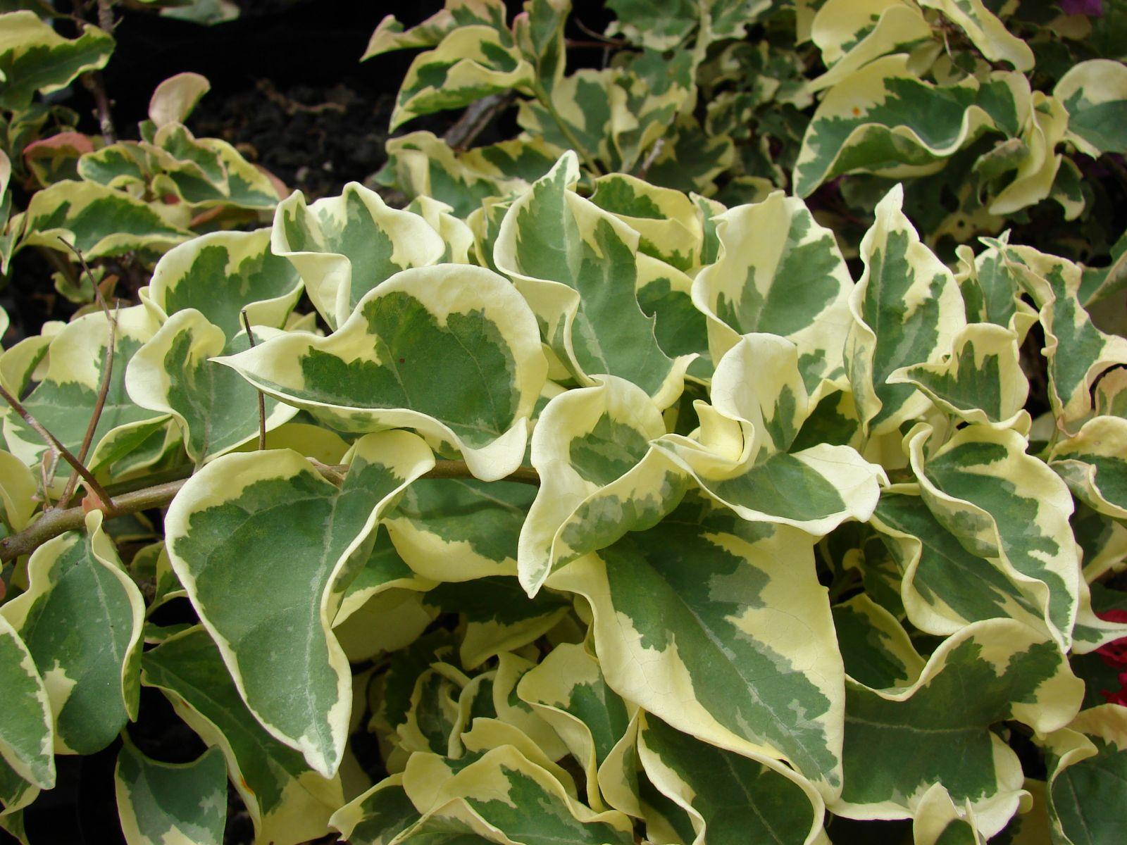 Bougainvillea variegata vivero chaclacayo for Hojas ornamentales con sus nombres