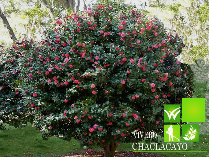 Camelia camellia japonica for Cuidados camelia japonica
