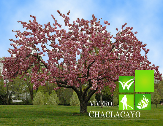 Cerezo japon s zacura prunus serrulata grass americano for Arboles para jardin japones
