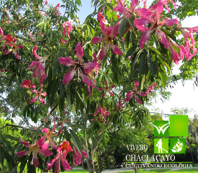 Chorisia chorisia especiosa grass americano cesped for Viveros en paraguay