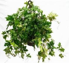 Cissus rhombifolia vivero chaclacayo - Enredaderas de interior ...