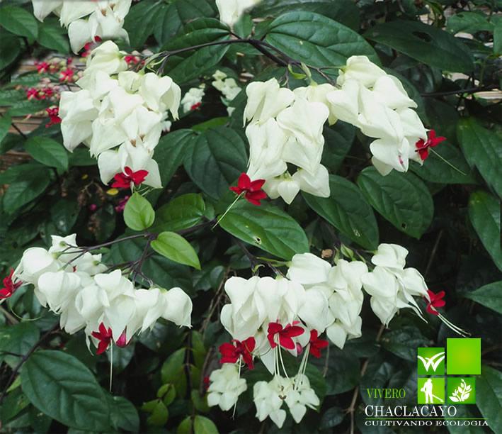 Clerodendrum speciosum vivero chaclacayo for Arbustos para jardin con flores