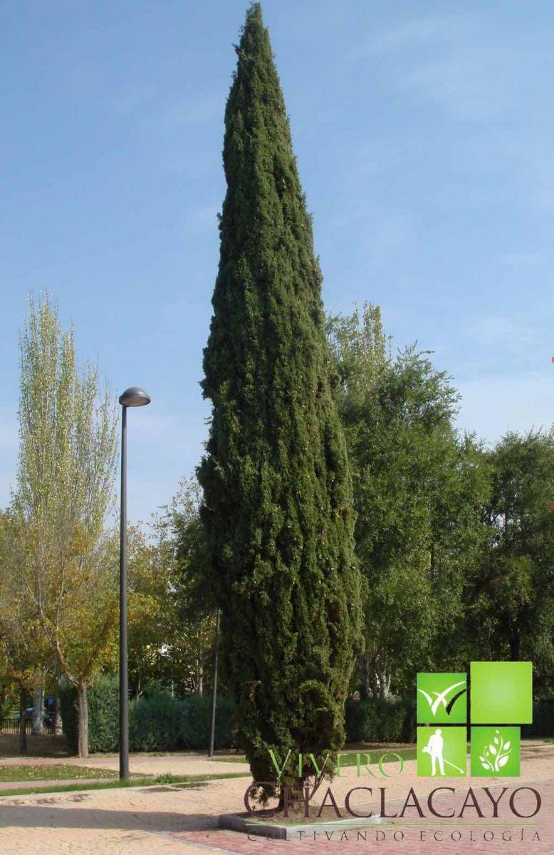 Cipres vela cupressus sempervirens stricta vivero for Tipos de pinos para jardin fotos