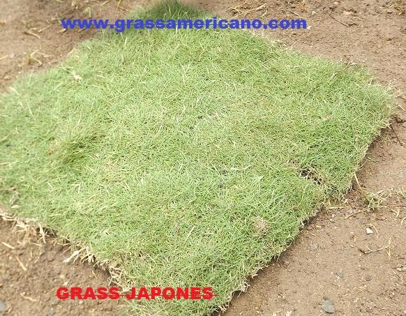 Variedad de grass vivero chaclacayo - Cesped japones fotos ...