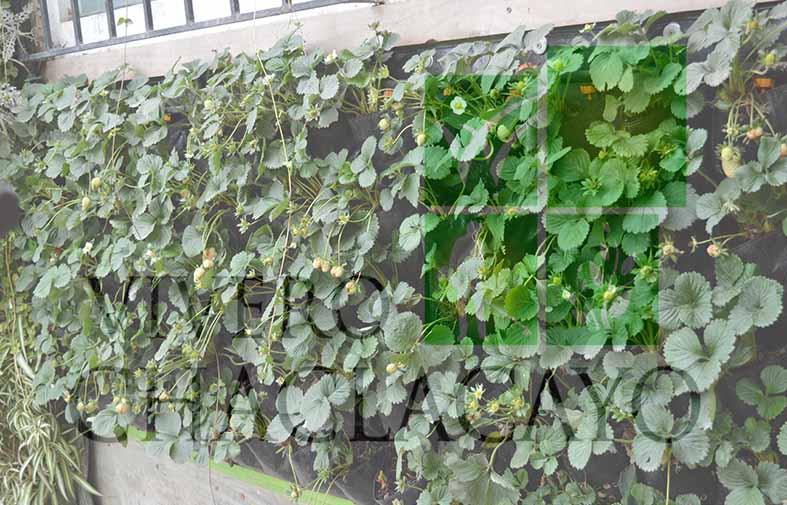 Cultivando fresas en casa vivero chaclacayo for Contenedores para jardines verticales