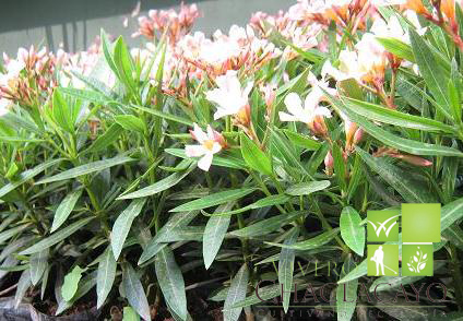 Laurel enano nerium oleander grass americano cesped - Arbustos enanos para jardin ...