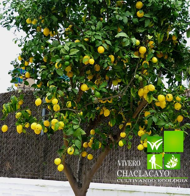 Lima citrus aurantifolia vivero chaclacayo for Viveros en lima